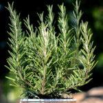 rozmarýna lékařská, rozmarýn, rosmarinus officinalis, byliny abecedně R