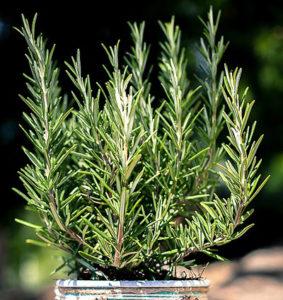 rozmarýna lékařská, rozmarýn, Rosmarinus officinalis, rostliny v magii, magický herbář