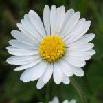 sedmikráska obecná, bellis perennis, byliny abecedně S