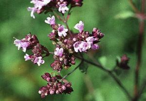 dobromysl obecná, oregano, Origanum vulgare, rostliny v magii