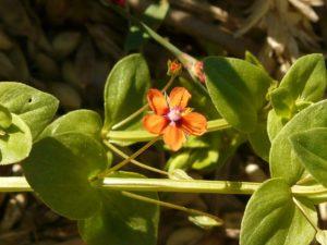 drchnička rolní, Anagallis arvensis, rostliny v magii, magické rostliny