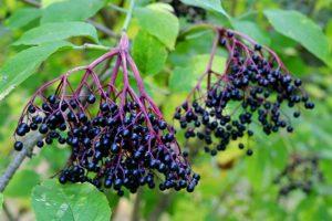 bez černý, červený, chbdí, bezinky, bezinková šťáva, bezinkové víno, Sambucus, rostliny v magii