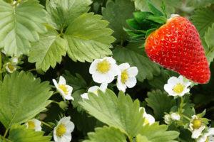jahoda, jahodník, fragaria, rostliny v magii, magický rostliny