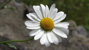 kopretina bílá, Leucanthemum vulgare, rostliny v magii, magický herbář