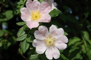 šípková růže, šípek, šípky, Rosa Canina, rostliny v magii, magický herbář