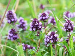 mateřídouška obecná, Thymus vulgaris, tymián, rostliny v magii, magický herbář