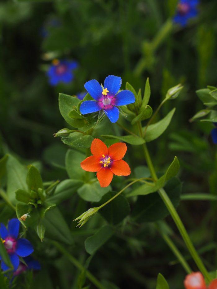 drchnička rolní, Anagallis arvensis, rostliny v magii, magický herbář