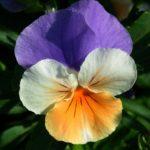 maceška, violka trojbarevná, violka rolní, viola tricolor, viola arvensis, byliny abecedně L-M