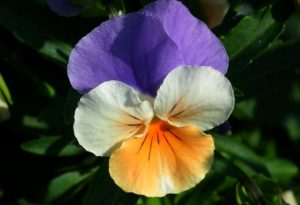 violka, Viola, maceška, rostliny v magii, magický herbář