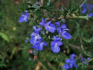 rozmarýna lékařská, rozmarýn, Rosmarinus officinalis, rostliny v magii