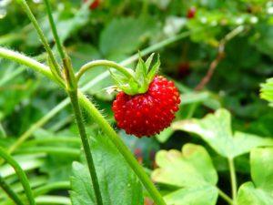 jahoda, jahodník, fragaria, rostliny v magii, magické rostliny