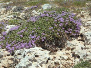 mateřídouška obecná, Thymus vulgaris, tymián, rostliny v magii