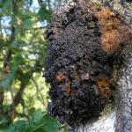 čaga, rezavec šikmý, inonotus obliquus, byliny abecedně C-D