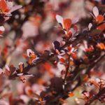 dřišťál obecný, berberis vulgaris, seznam léčivých rostlin