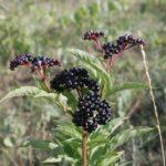 bez chebdí, sambucus ebulus, byliny abecedně
