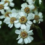 bertrám obecný, řebříček, achillea ptarmica, byliny abecedně