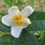 čaj, čajovník čínský, camellia sinensis, léčitelský herbář, byliny abecedně C-D