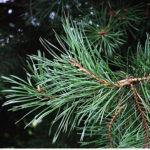 borovice lesní, sosna, pinus sylvestris, seznam léčivých rostlin