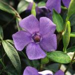 brčál menší, barvínek, vinca minor, léčitelský herbář, byliny abecedně A-B