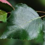 bříza bělokorá, bradavičnatá, betula pendula, seznam léčivých rostlin
