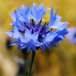 chrpa polní, modrá, modrák, centaurea segetum, centaurea cyanus, byliny abecedně E-I