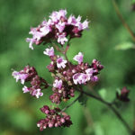 dobromysl obecná, origanum vulgare, oregano, byliny abecedně C-D
