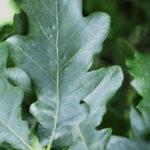 dub letní, quercus robur, léčitelský herbář, byliny abecedně C-D