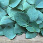 eukapyptus, blahovičník kulatoplodý, eucalyptus globulus, byliny abecedně E-I
