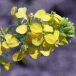 hořčice rolní, sinapis arvensis, byliny abecedně E-I