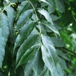 jasan ztepilý, fraxinus excelsior, léčitelský herbář