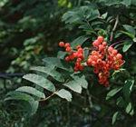 jeřáb ptačí, jeřabina, jeřabiny, sorbus aucuparia, byliny abecedně J