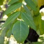 jerlín japonský, sophora japonica, léčivky J