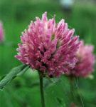 jetel luční, trifolium pratense, léčivky J