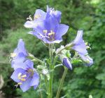 jirnice modrá, polemonium coeruleum, byliny abecedně J