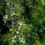 jalovec obecný, juniperus communis, jalovčinky, byliny abecedně J