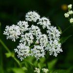bršlice kozí noha, aegopodium podagraria, seznam léčivých bylin