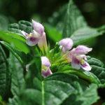 konopice polní, galeopsis tetrahit, byliny abecedně K