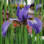 kosatec sibiřský, německý, iris sibirica, germanica, byliny abecedně K