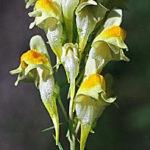 lnice obecná, květel, linaria vulgaris, léčivky L-M