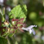 meduňka lékařská, melissa officinalis, byliny abecedně L-M