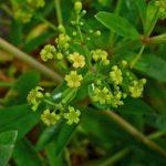 mořena barvířská, rubia tinctorum, byliny abecedně L-M
