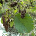 olše lepkavá, alnus glutinosa, byliny abecedně N-P