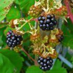 ostružiník křovitý, rubus fruticosus, byliny abecedně N-P