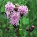 pcháč rolní oset, cirsium arvense, léčivky N-P