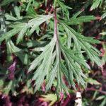 pelyněk černobýl, artemisia vulgaris, léčivky N-P