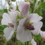 proskurník lékařský, althaea officinalis, léčivky N-P
