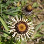 pupava obecná, carlina vulgaris, byliny abecedně N-P