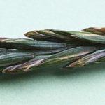pýr plazivý, elytrigia repens, byliny abecedně N-P