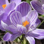 šafrán setý, krokus, crocus sativus, léčivky S