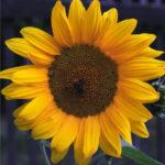 slunečnice roční, helianthus annuus, léčivky S